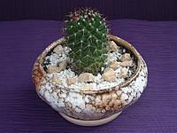 Кактус маммилярия в керамическом горшке, фото 1