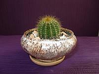 Кактус в керамическом горшке