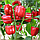 Перец Красный Рыцарь X3R F1 Seminis 500 семян, фото 2