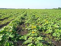 Тыква  семена  голосемянки