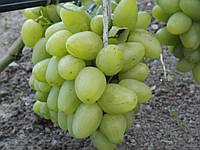 Саженцы винограда Монарх (ранний)
