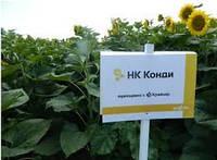 Семена подсолнечника НК Конди