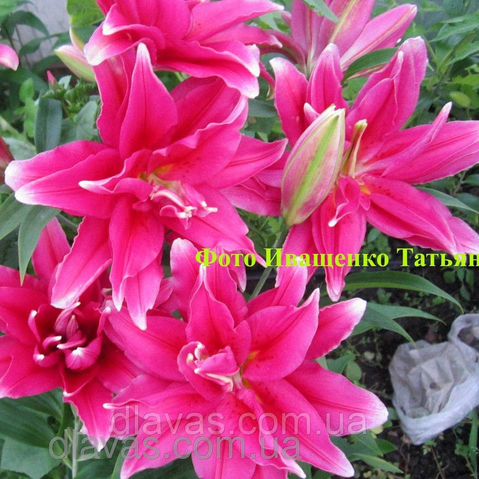 Лилия ориентальная махровая  Roselily Thalita
