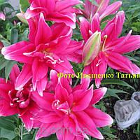 Лилия ориентальная махровая  Roselily Thalita, фото 1