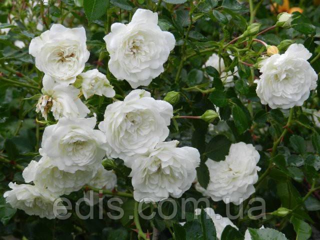 Троянда грунтопокривна Swany
