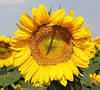 Семена подсолнечника Ранок