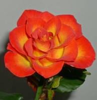 Роза полиантовая Rumba (Румба) патио