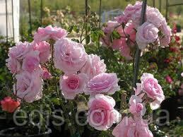 Троянда Лілі Марлен (Lili Marlene) патіо