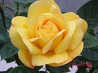 Роза флорибунда Артур Белл (Arthur Bell)