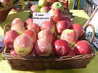 Саженец яблони сорта Слава Победителям