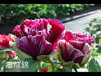Пион древовидный фиолетовый Kokuryu-Nishiki (Кокуру-нишики)