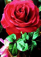 Как правильно обрезать розы после зимы.