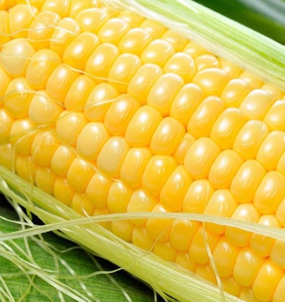Семена кукурузы Лендмарк F1, Clause | профессиональные
