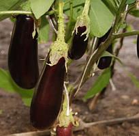 Семена баклажана Фабина F1, Clause 5 грамм | профессиональные