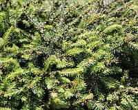 Ялина звичайна Нідіформіс (Picea abies Nidiformis) L 3