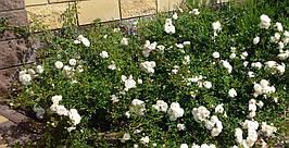Белый цветник у дома 4