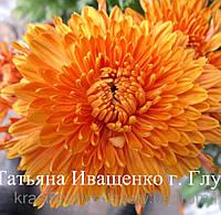 Хризантема корейская РАННЯЯ  (c АВГУСТА) КРУПНАЯ, фото 1