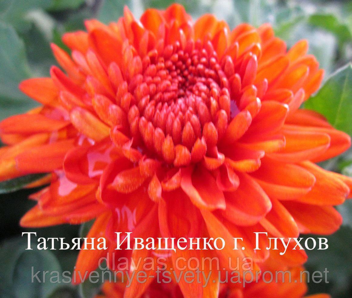 Хризантема корейская Рыжик