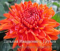 Хризантема корейская Рыжик , фото 1