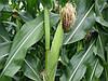 Защита от западного кукурузного жука с помощью генной инженерии