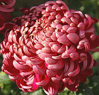 Хризантема крупноцветковая , фото 1