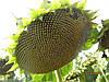 Семена подсолнечника НС-Х 6044