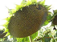 Семена подсолнечника НС-Х 6044, фото 1