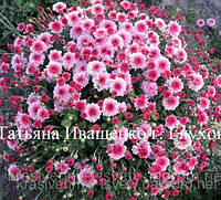 Хризантема  РАННЯЯ, фото 1