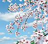 Фотообои *Цветущая сакура* 140х145