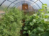 Как вырастить огурцы и томаты в одной теплице