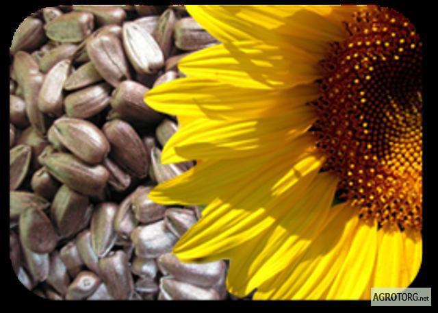 Насіння соняшнику (семена подсолнуха)