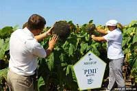 Семена подсолнуха Рими под Евролайтинг, фото 1