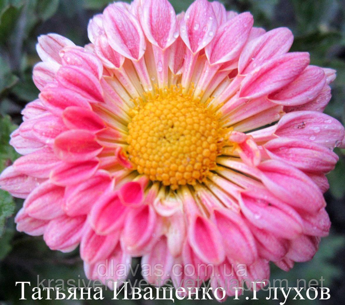 Хризантема корейская С АВГУСТА
