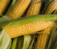 Семена кукурузы Солонянский 298 СВ, фото 1