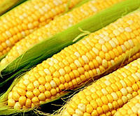 Семена кукурузы Билозирский 295 СВ, фото 1