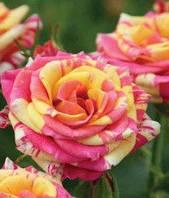 Роза Брызги шампанского