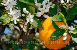 Апельсин Вашингтон Нэвил (Citrus sinensis 'Washington navel) до 20 см. Комнатный