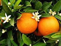 Апельсин Гамлин (Citrus sinensis Hamlin) 30-35 см. Комнатный