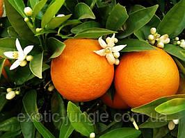 Апельсин Гамлин (Citrus sinensis Hamlin) до 20 см. Комнатный