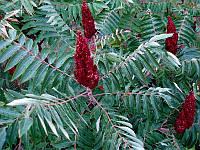 Сумах листопадный, деревце