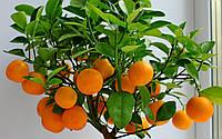 Мандарин Уншиу (Citrus unshiu) 50 см. Комнатный