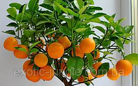 Мандарин Уншиу (Citrus unshiu) до 20 см. Комнатный