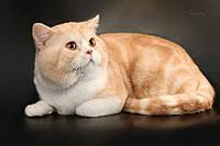 Шотландский страйт , кот для вязки