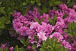 Азалия японская Rosinetta, фото 2