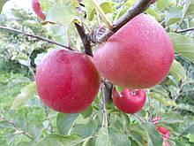 Саджанці яблуні Ред Топаз Голд