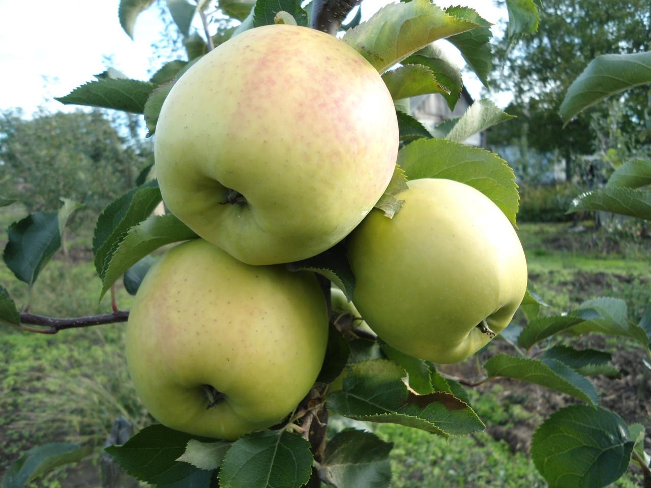 Саджанці яблуні Оріон Голд