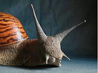 Гигансткая  сухопутная улитка Гигансткая улитка —  Альбино, Иммакулята