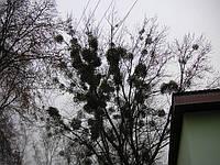 Срезание аварийных и опасных деревьев