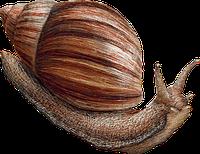 Гигансткая  сухопутная улитка —  разные размеры.