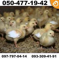 Цыплята бройлеры COBB 500 КОББ 500 ПОДРОЩЕННЫЕ